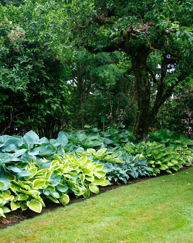 Hosta Shade Garden   Oregon