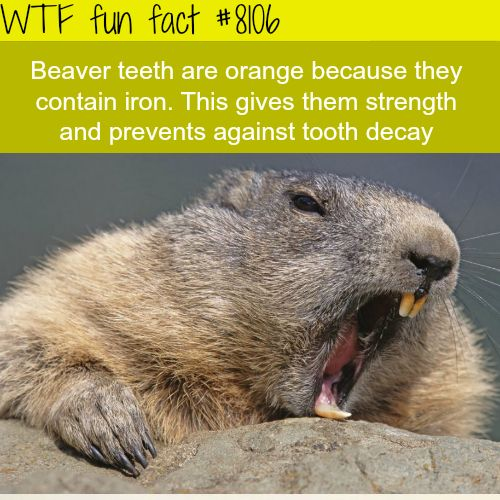 Why beavers have orange teeth - WTF fun facts