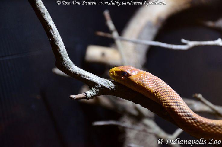 korenslang - Pantherophis guttatus - corn snake | by MrTDiddy