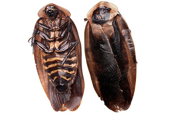How To Identify the Death's Head Cockroach   The death head cockroach can grow more than 2 inches long. Luckily, they cannot fly. Read more about this cockroach and where it can commonly be found. #TerminixBlog