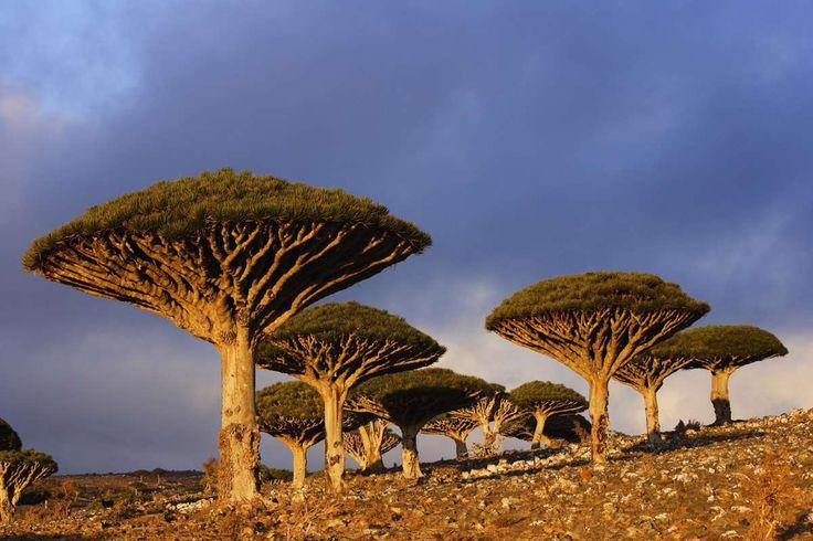 Estos parasoles crecen en Diksam Plateau, en la isla yemení de Socotra. Su nombre en el mundo de la ... - Corbis. Texto: Redacción Traveler
