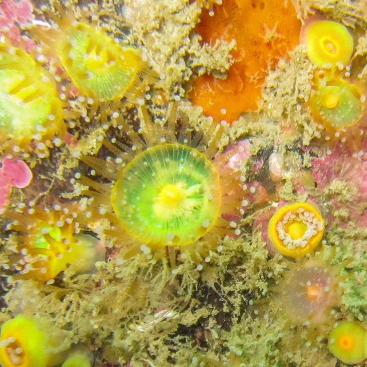 Jewel anemones coat the walls below 20m off the south west coast of England. These gems collect in coloured families formed through the dividing of individuals. The colours are amazing always with totally different colours on the tentacles and the centre. This was taken at 27m on the Runnel Stone off Lands End in Cornwall. #Cornwall #visitcornwall #ukdiving #uksealife #underwater #underwaterphotography #scuba #diving #scubadiving #sealife #anenome #jewel #jewelanenome #green #yellow…