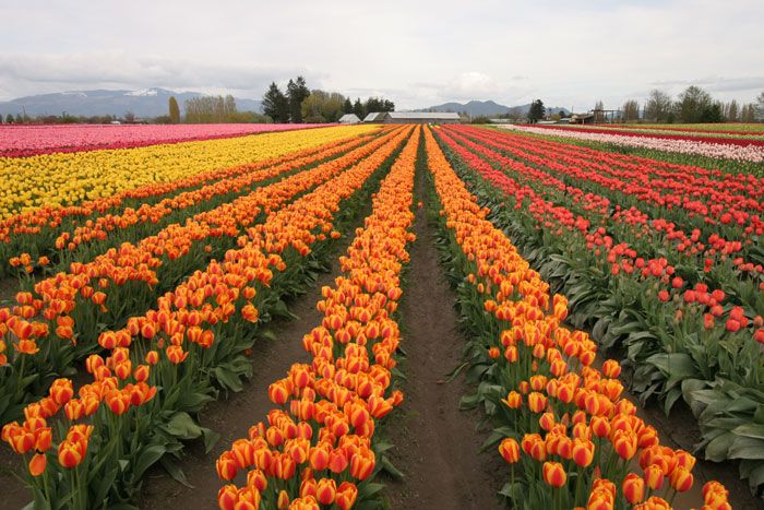 Skagit Tulip Festival, Washington