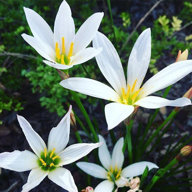 ☺︎ * ひっそり咲いていたタマスダレ✿ * Nicoと椪と一緒にいると、この花のように まっしろな気持ちでいられるよ(╹◡╹)♡ * * #散歩#花#タマスダレ#愛犬 #雑種犬#ボーダーコリー#多頭飼い
