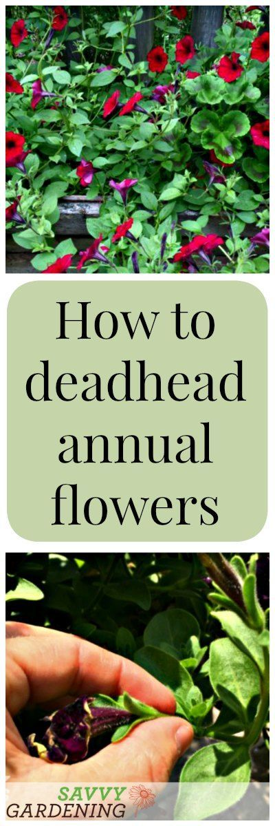 How to Deadhead Annual Flowers | Savvy Gardening