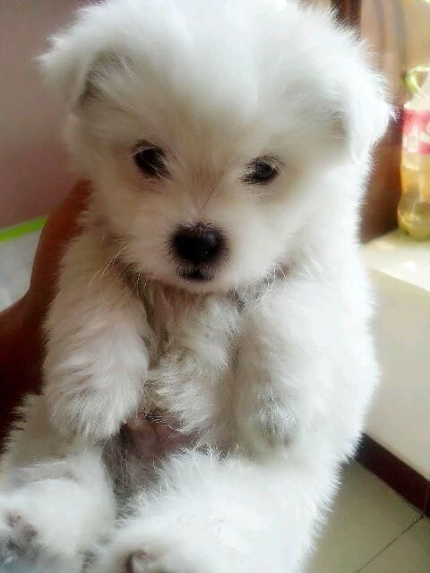 Fluffy puppies, Puppys and Baby animals on Pinterest