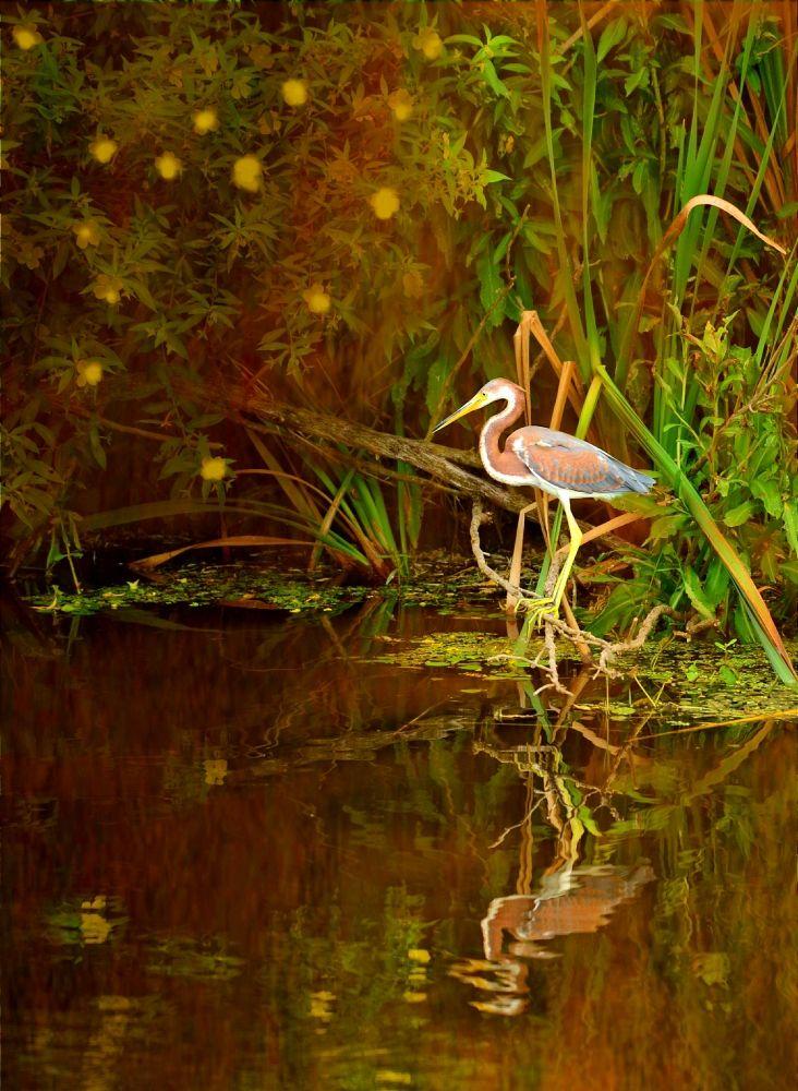 Tri Colored Heron by Suzi Harr http://focusingonwildlife.com/news/wildfocus/featured/093-lake-apopka-8-9-15-3/