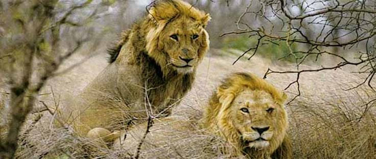 To experience the real Asiatic Lions, you need to visit the forests of Gir where you can enjoy seeing the heroic lions strolling by and sun bathing in the months of October and June. The park was established in 1965 to conserve the Asiatic Lions. This park has lots of deep ravines, rivers and rocky hills.