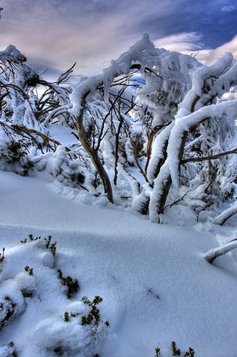 Snow Gums on Mt Wellington - Hobart - Tasmania by Brendan Davey, via Flickr
