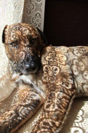 Lacey dog