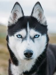 husky perfeito, um olhar sem defeito...