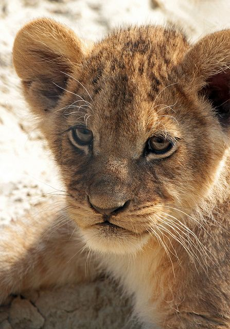 *Lion Cub.