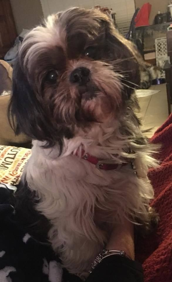 ADOPTED!!  Mary Esther,FL - Meet Smokey, an adoptable Shih Tzu looking for a forever home;  LOCATED at Save UnderDogs, Mary Esther,FL