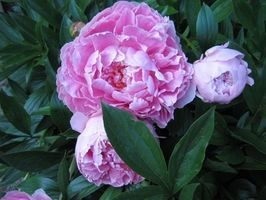 How to Grow Peonies in Texas thumbnail
