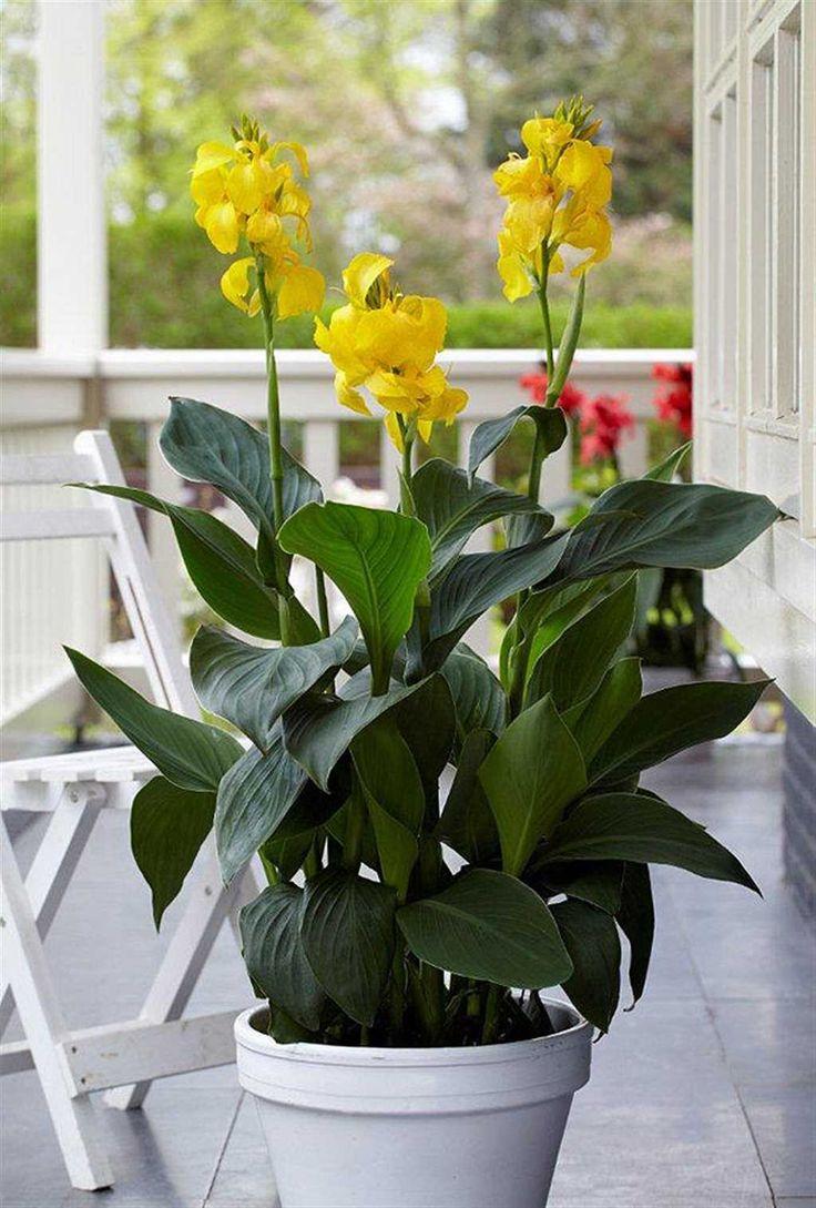 Canna Cannova Yellow Garden Plants Greenhouses