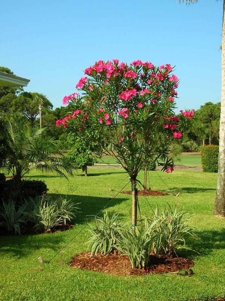 Oleander Calypso Accents Amp Topiaries Delray Garden
