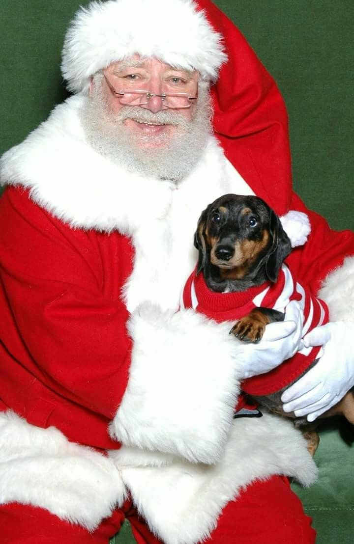 Pin By Wild For Weiners On Christmass Dachshunds Dachshund