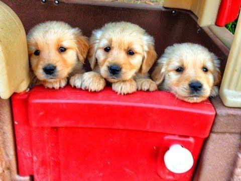 10 Mejores perros para niños - razas obedientes - para toda la familia - Perros dociles - YouTube