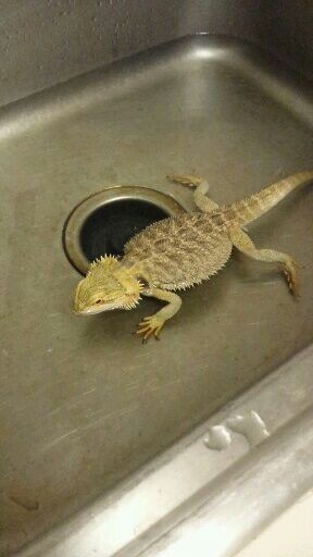 63 Best Images About Bearded Dragon On Pinterest Head Shapes Cute Pets And Reptile Terrarium