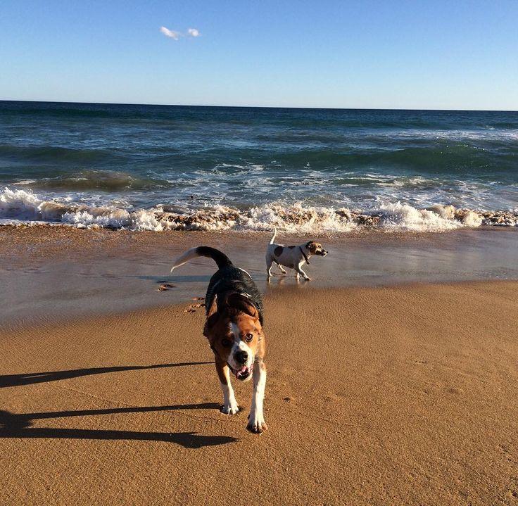 #beachday #beaglier #jackrussell #warrnambool #love3280 #dogs3280 #autumn #sunshine  by jbbplh