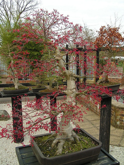 Bonsai Garden in RHS Wisley, Surrey