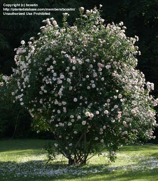 1000+ Images About Roses On Pinterest