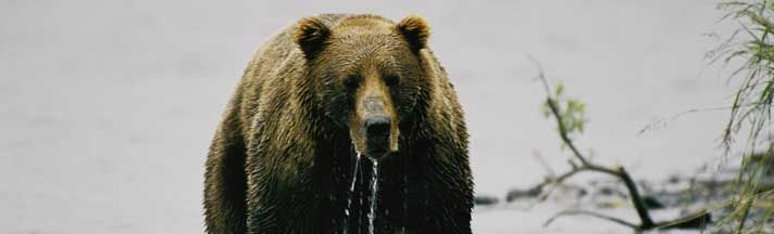 Kodiak Alaska Bear Rear Window Graphic Part #RWG1552 | See thru Bears Rear Window Graphics & Bears Window Decals at http://www.customautotrim.com/window-graphics/