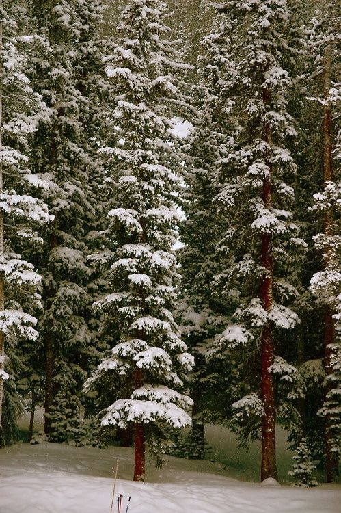 tall pines and fresh snow, a few of my favorite things.