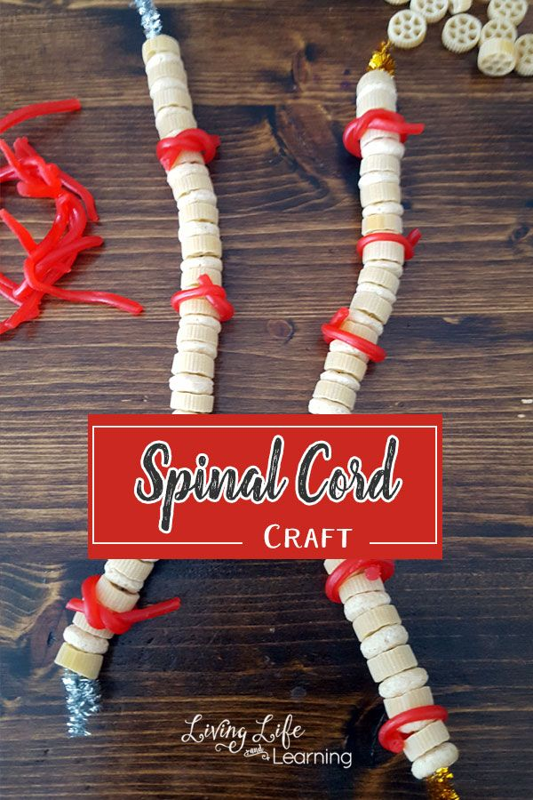 Need a hands-on way to create a spinal cord? Use candy, my kids loved creating the spinal cord craft and then eating their hard work.