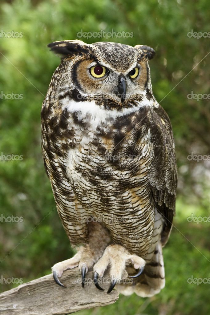 Cute Stitch On Side Wallpaper Great Horned Owl Great Horned Owl Full View Stock