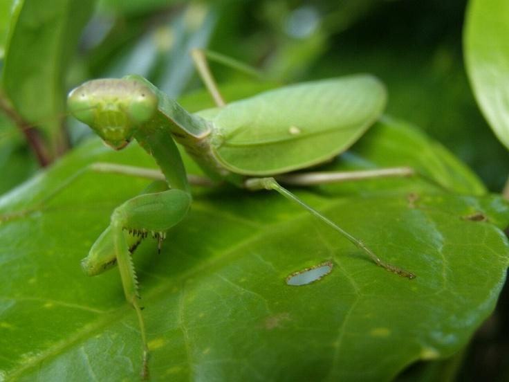 カマキリ(螳螂、蟷螂)は、昆虫綱カマキリ目(蟷螂目、学名: Mantodea)に分類される昆虫の総称。前脚が鎌状に変化し、他の小動物を捕食する肉食性の昆虫