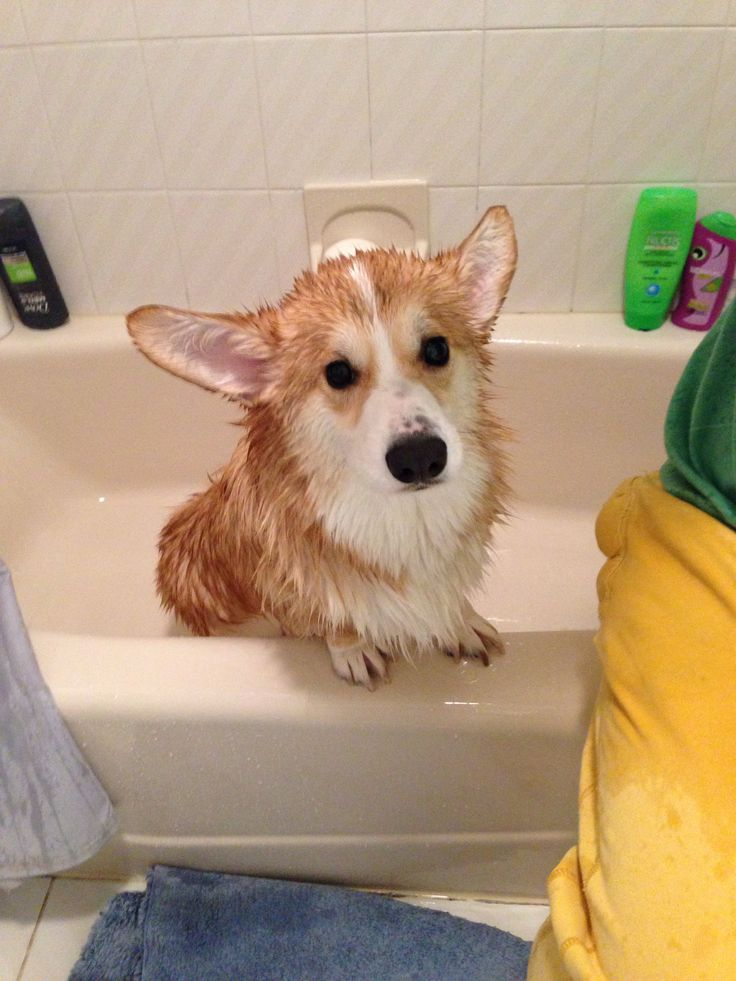 Wet corgi!
