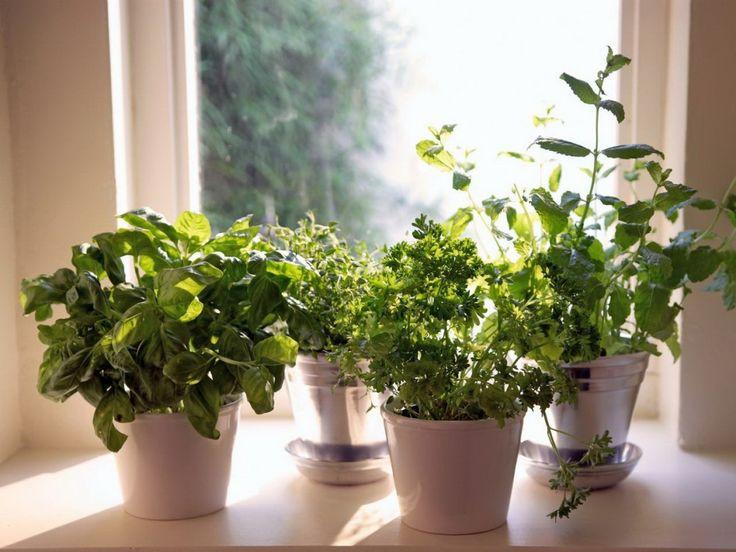 Какую зелень можно перенести с огорода в дом осенью? - Ботаничка.ru