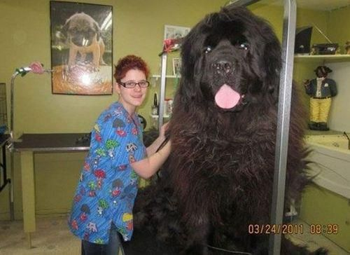 Rare breed of Newfoundland dogs bred to hunt bears. --- oh my gosh. what do you even feed these things?