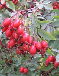 Rosehip & Apple Jelly - I made this with crabapples last year and it was delicious.