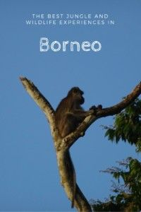 The Best Jungle And Wildlife Experiences in Borneo. #borneo #wildlife #wildlifeplanet #jungle #malaysia #traveltips #adventure #monkey