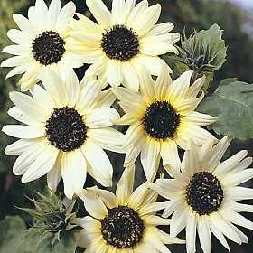 benih/bibit/seeds Italian White Sunflower Helianthus debilis ,bibit bunga matahari italian white unik, beautiful, rare,