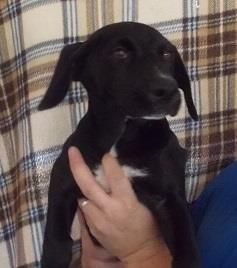 Zada is a female, lab mix puppy who is available for adoption NOW! ID# 17-D1947
