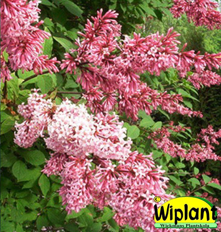 Syringa 'Julia', Norrlandssyren. Klon från Närpes. Lysande rödrosa blommor. Höjd: 2-3 m.