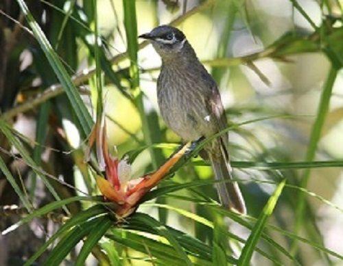 Eungella Honeyeater. Photo courtesy of Bill Cameron. #Eungella #Honeyeater #Endemic #birds #Mackayregion