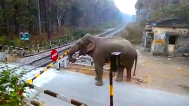 A cheeky elephant crosses a railway track in Chapramari Wildlife Sanctuary. The tuskless male elephant - called a Makhna - used its trunk to push up the crossing barrier, then ambled his way across the tracks before crushing the second barrier and trampling over it. Videographer  director: Rony Chowdhary Producer: Charley Sutton, Nick Johnson Editor: Joshua Douglas