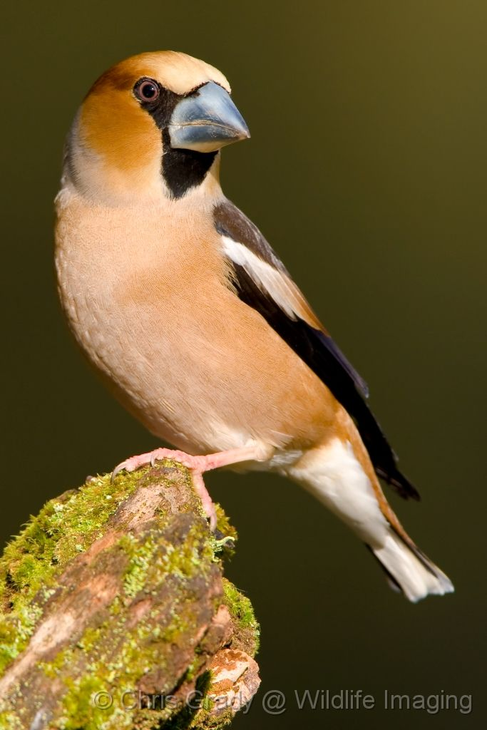 Hawfinch - Gloucestershire
