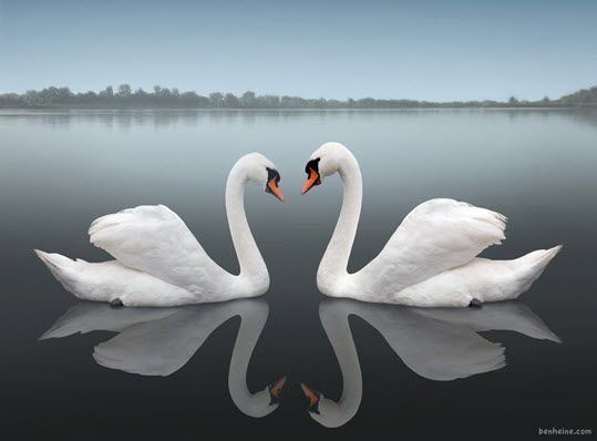 Reflection - Swans