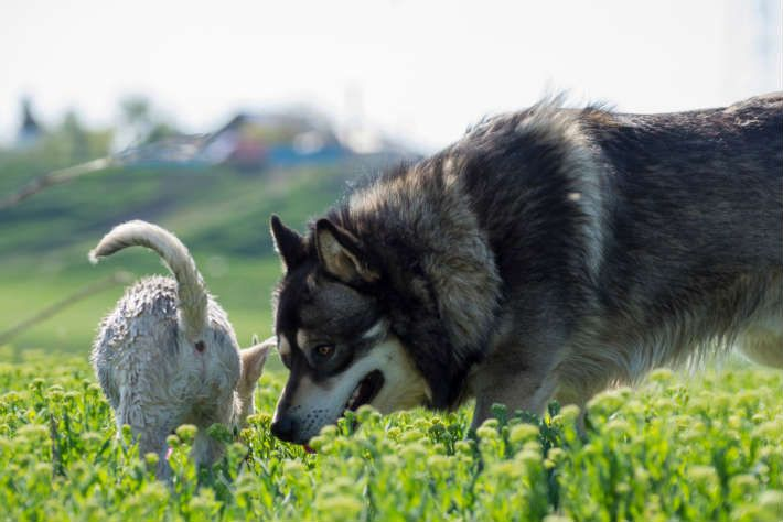 How Long Do Huskies Live I Ll Tell You About It With Images Dog Breeds Husky Best Dog Breeds