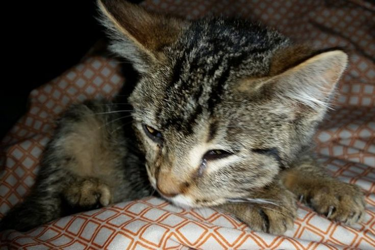 Crf Cat Raw Food Diet