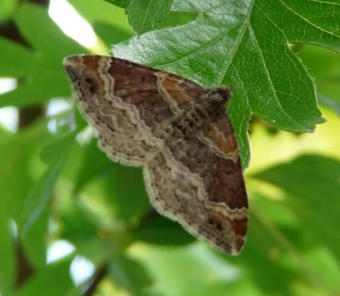 Red Twin-spot Carpet: lights out | Nature Notes from Dorset