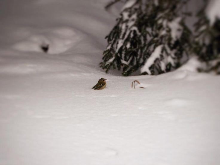 #crosscountryskiing #trip #snow #klubkocestuje #naturelovers #bird #birdinsnow Pípák je malinký a pořád něco špekuluje!🕊❄️⛷🎿🗻