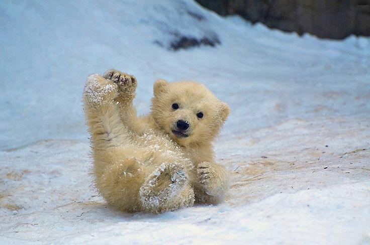 8+x+schattige+baby-ijsberen+die+knuffelen,+vallen+en+in+hun+nekvel+worden+gegrepen