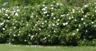 rosa rugosa white flowering hedge trees and shrubs. Black Bedroom Furniture Sets. Home Design Ideas