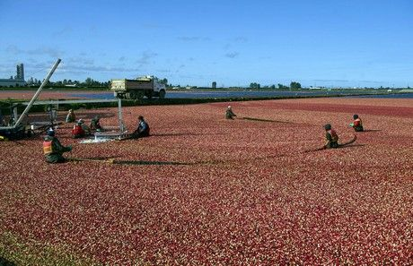 Ocean Spray Cranberries, Inc., a Grower-Owned cooperative, officially kicked off the iconic cranberry harvest this week, beginning September 26, in British Columbia. Over the next six to eight.....